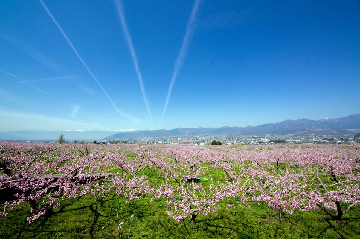 一宮町の桃の花