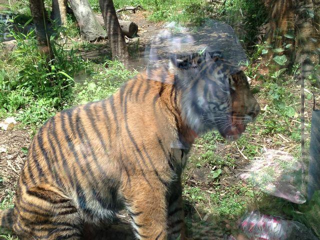 トラがこんなに近くに!_八木山動物公園フジサキの杜(仙台市八木山動物公園)