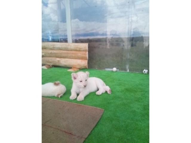 ホワイトライオンの赤ちゃんです。_姫路セントラルパーク