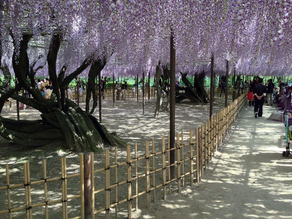 岡崎公園の五万石藤