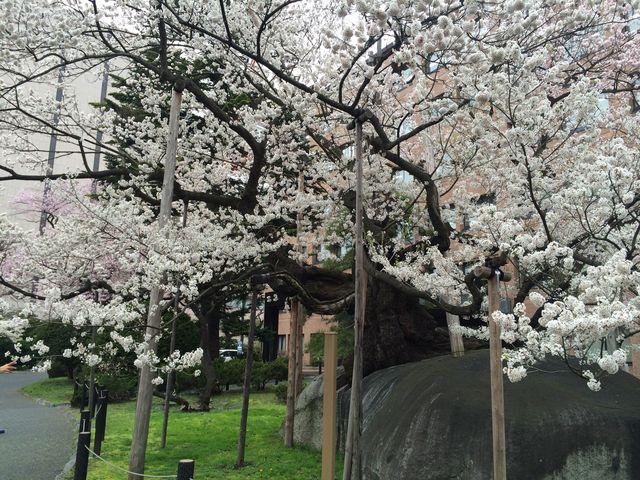 石割桜】アクセス・営業時間・料...
