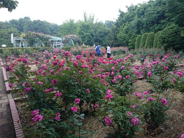 バラ園_智光山公園