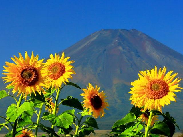 風もなく好天気に恵まれました_山中湖 花の都公園