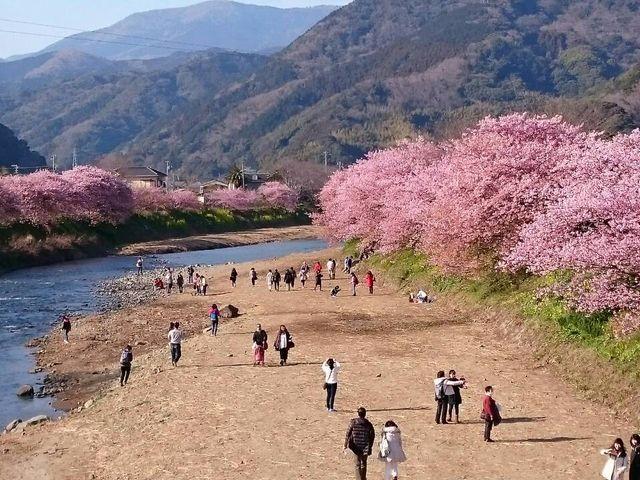 川沿いなので、暖かい格好は大切です!_河津桜