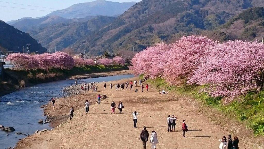 河津桜 【静岡県河津町】