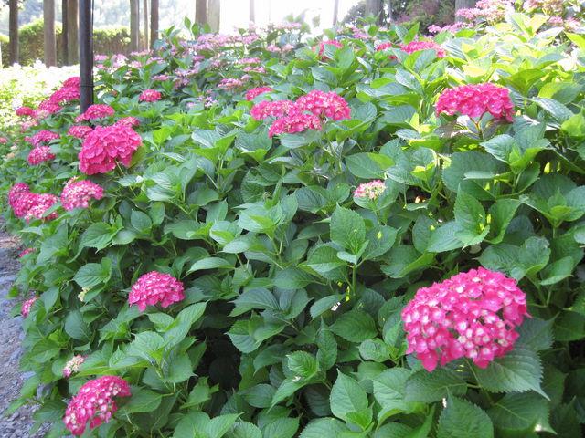 赤が華やかです。_三室戸寺のアジサイ