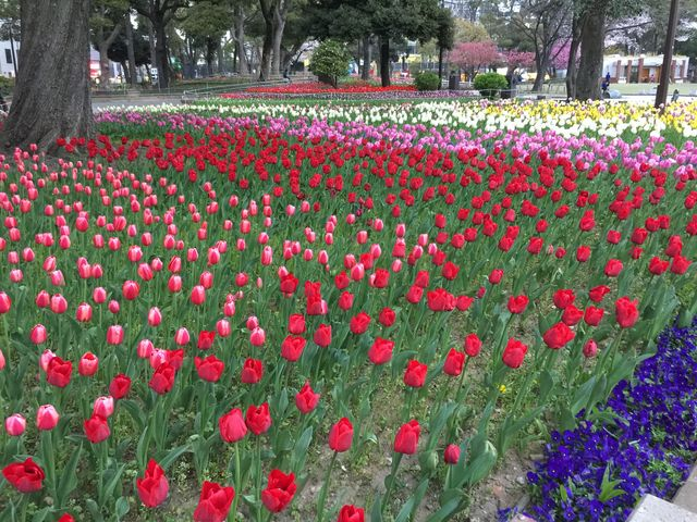 色とりどりのチューリップ_横浜公園のチューリップ
