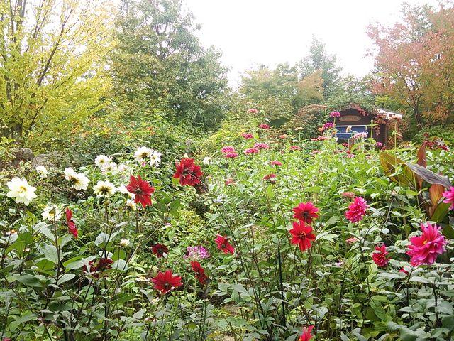 ダリアがとてもきれいでした_ラ・カスタ ナチュラル ヒーリング ガーデン