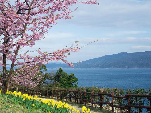 城山歴史公園は河津桜、水仙ともに咲きはじめで見頃を迎えています。_城山歴史公園/河津桜