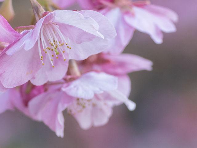 日当たりのよい桜は八分咲きほど。_城山歴史公園/河津桜