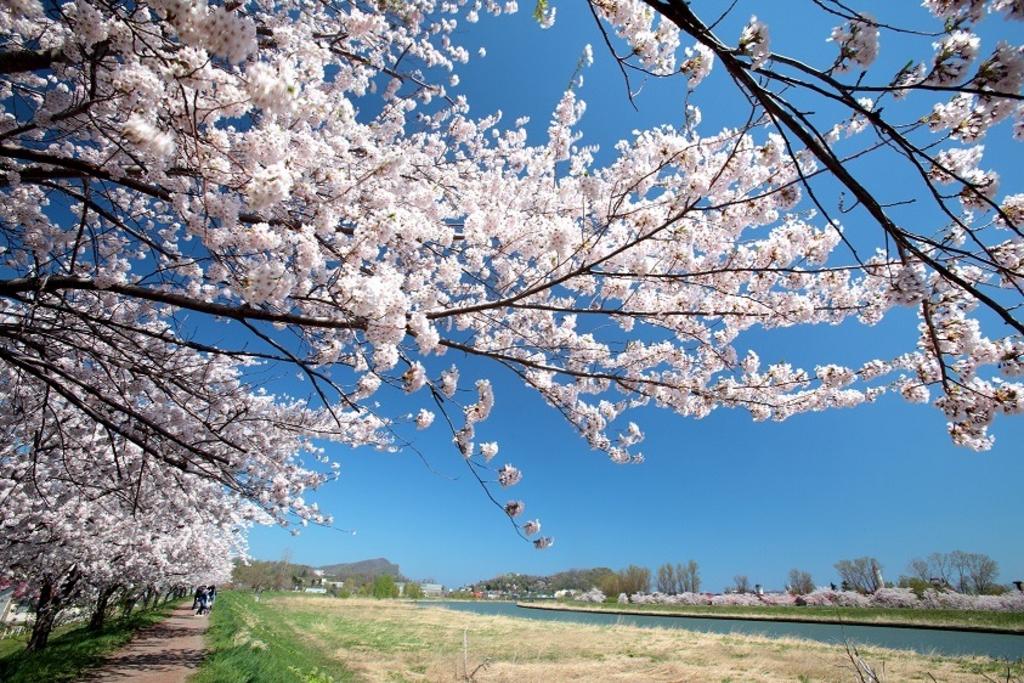 余市川桜並木