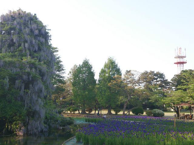 滝藤とアヤメ 1_鶴岡公園