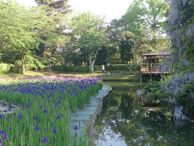 藤滝とアヤメ 3_鶴岡公園