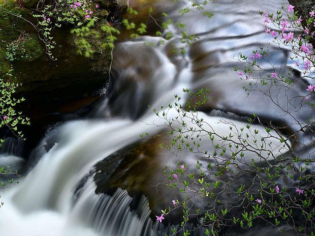 トウゴクミツバツツジと竜頭の滝_竜頭ノ滝