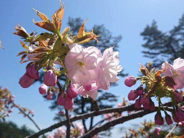 桜_きみまち阪県立自然公園