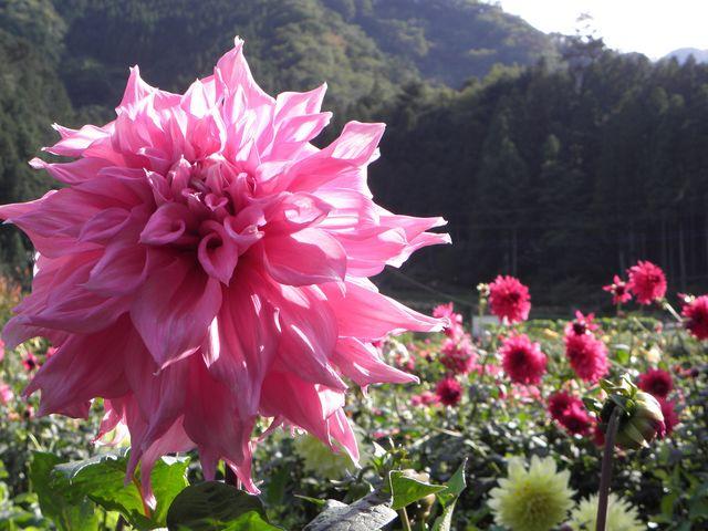 ダリア_両神山麓花の郷ダリア園