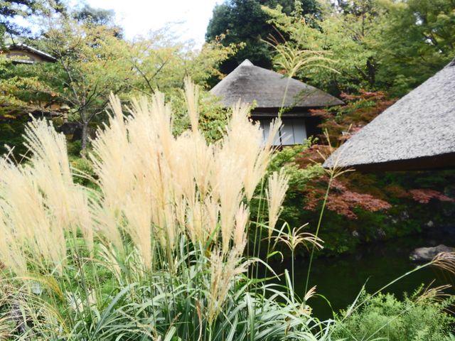 秋の気配のすすき_青龍苑