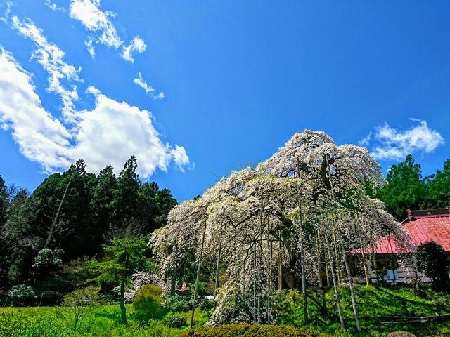 種蒔き桜4/23_慈徳寺の種まき桜