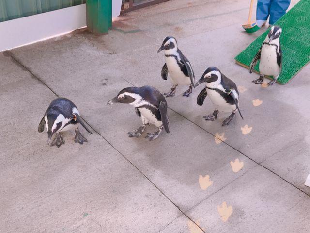 ペンギンの行進_東北サファリパーク