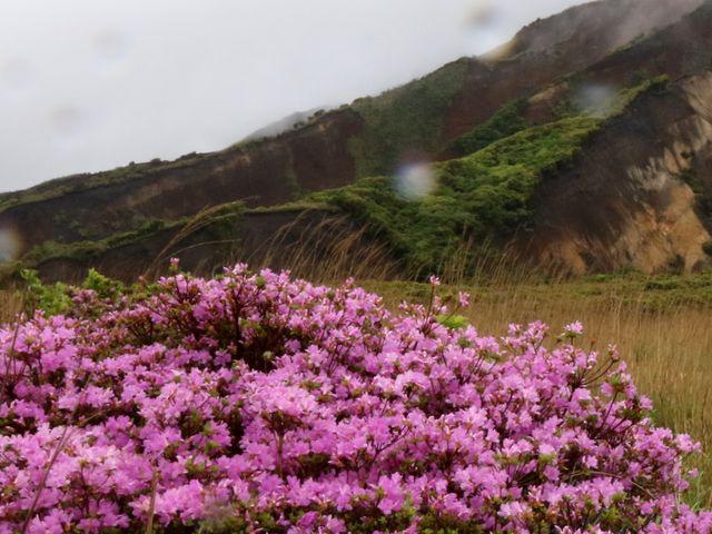 色合いはイマイチ_阿蘇山上のミヤマキリシマ