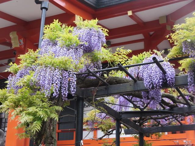 東京大神宮. 帰り道の毘沙門天さんで見た藤がきれいでした、色もいいですね。(嬉しくて載せました。)