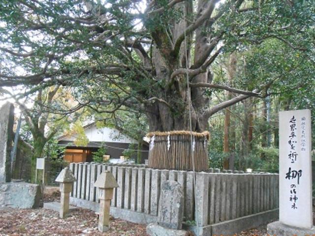 推定樹齢千年のナギの大樹(熊野速玉大社)_熊野速玉大社