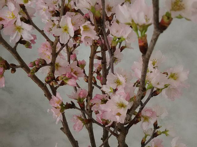 かまくら内部の桜_小野川温泉