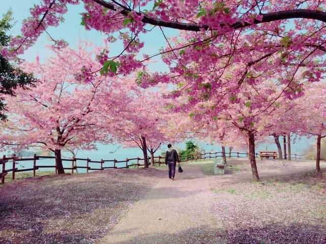 桜の花道_城山歴史公園/河津桜