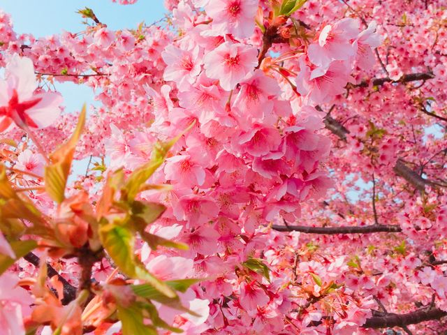 ぎっしり花咲いてます_城山歴史公園/河津桜