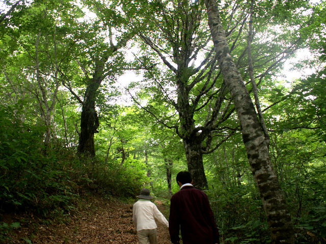 ブナ巨木1_早稲沢・デコ平自然ふれあい探勝路