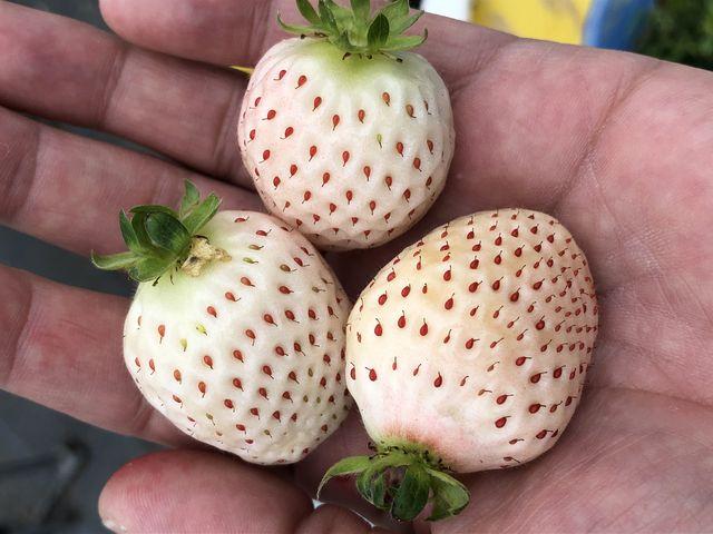 珍しい白い苺_果物王国