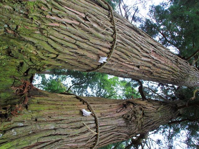見ものの杉です_諏訪神社
