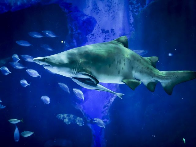 外洋大水槽には大きなサメ「シロワニ」が泳ぎます。_マリンワールド海の中道