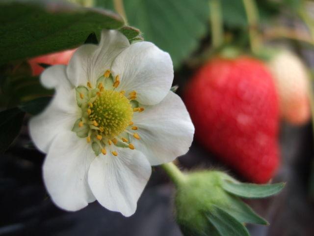 いちごのお花も可愛いです_どまんなか田沼観光農園