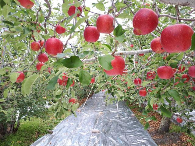 【りんごのアーチ】 この光景が見られるのは10月10日から14日程度だけです _後藤りんご園
