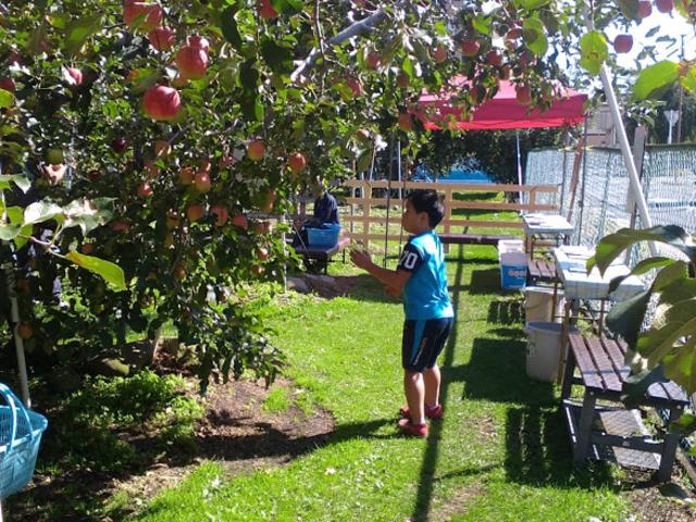 【りんご狩り】 園内の椅子で一休み_後藤りんご園