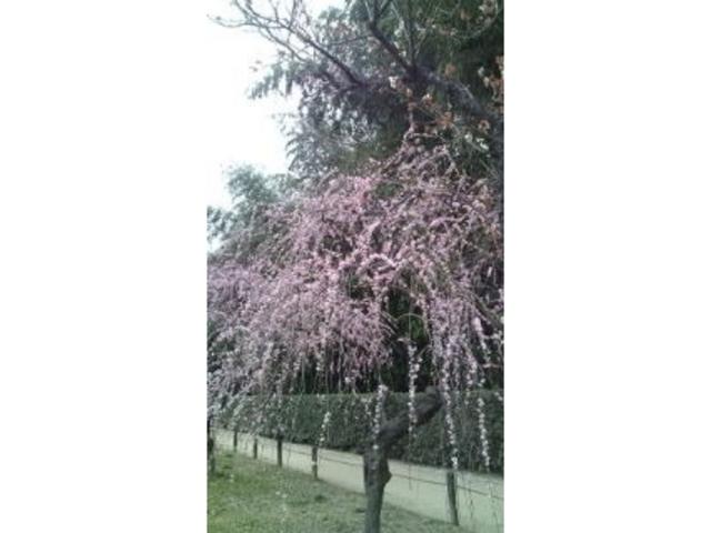 後楽園の梅・桜・ツツジ