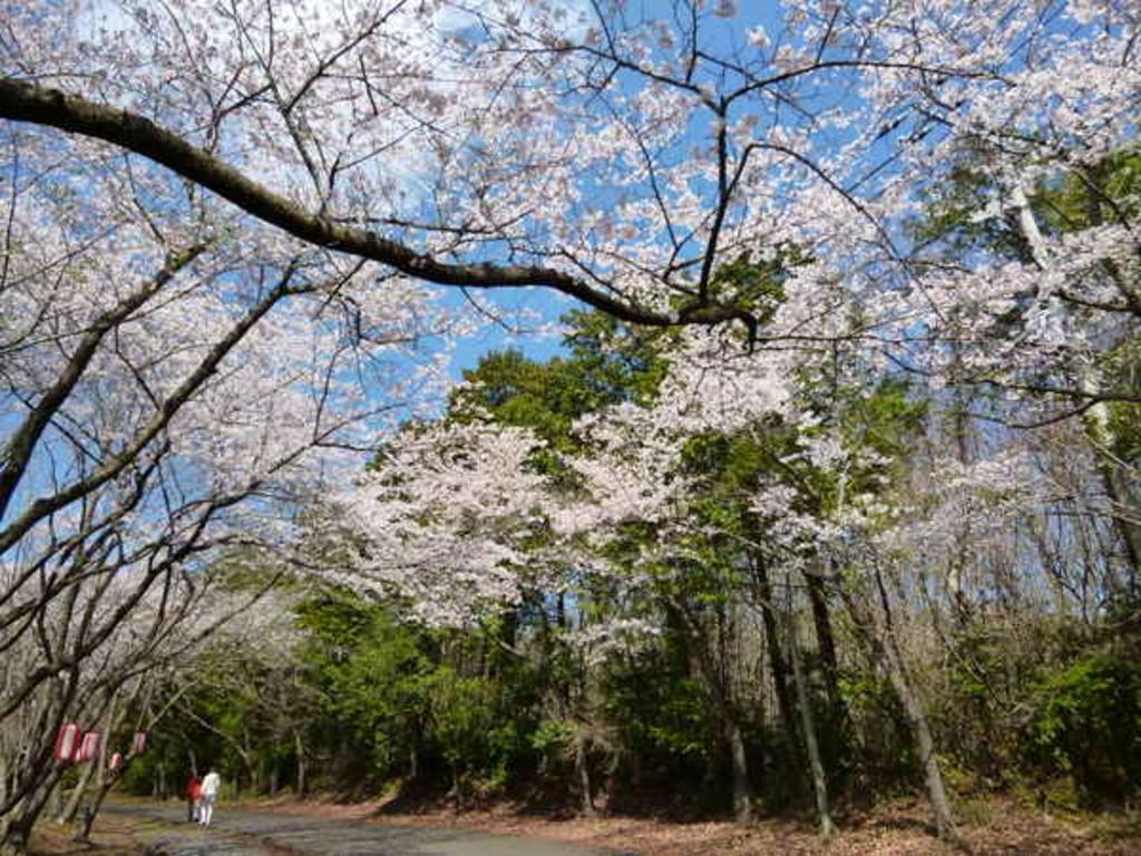根本山の桜