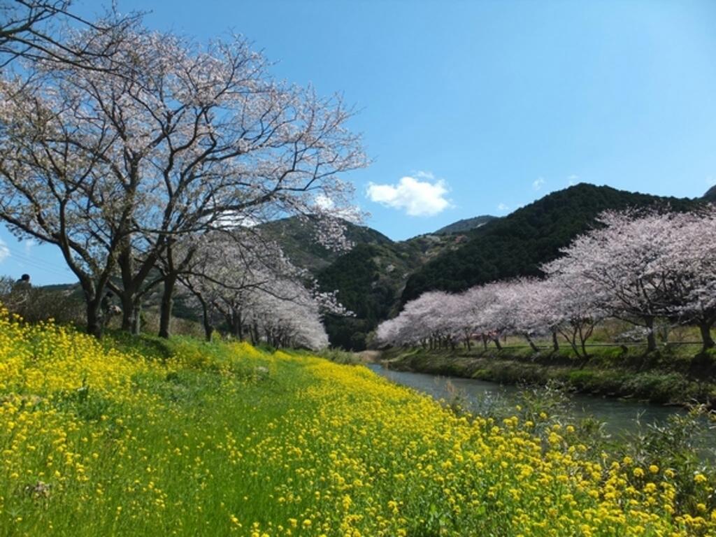 那賀川の桜
