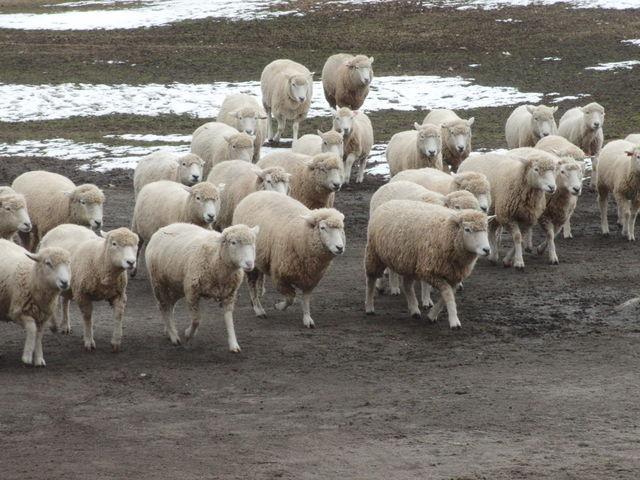 集まってくる羊!_伊香保グリーン牧場