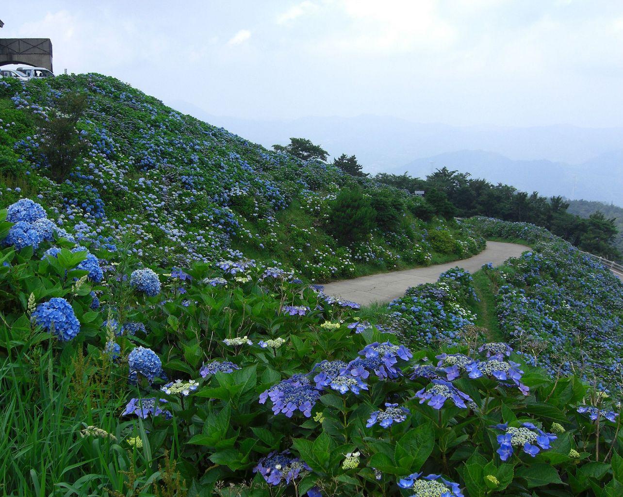 大川原高原のあじさい