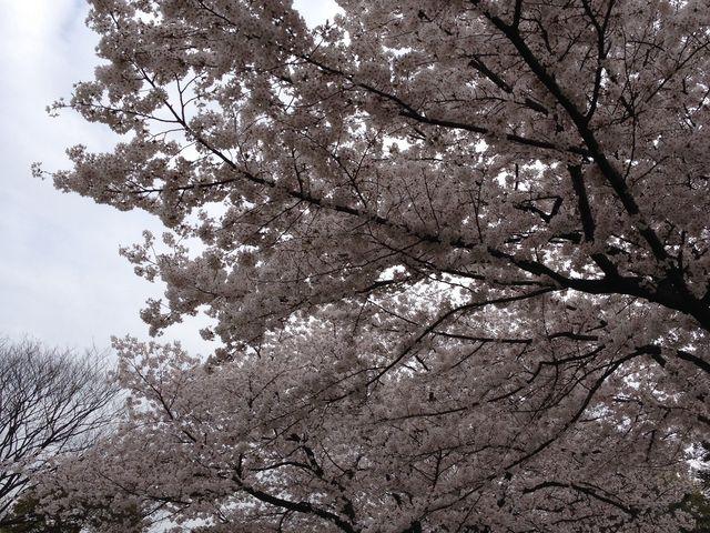 満開の桜_大仙公園