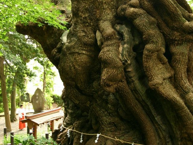 ちょっとビビるぐらい、でかい_来宮神社の大楠