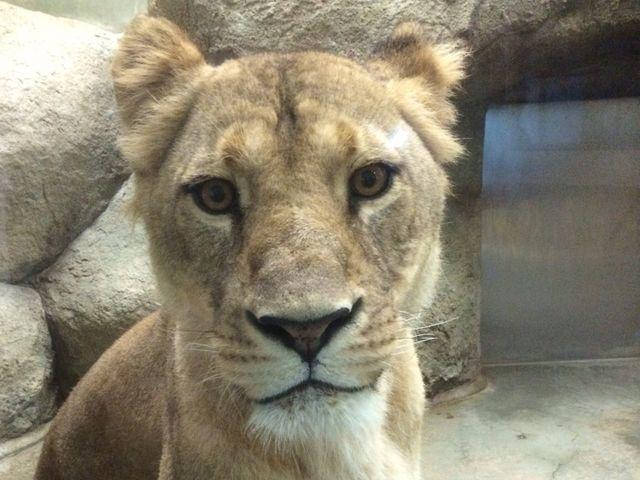 ガラスの向こうはすぐカメラ目線のライオン。 _静岡市立日本平動物園