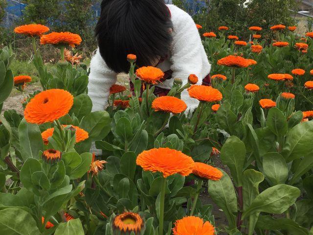 キンセンカが満開でした。 その他、ポピー、菜の花等が咲いてました。_道の駅 鴨川オーシャンパーク