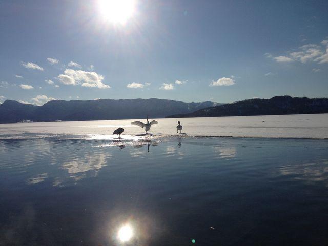 拡げた羽根が陽に透けて美しいっ!!_屈斜路湖