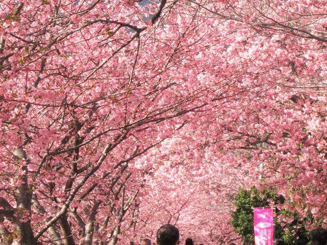 多くの人がいました。_河津桜