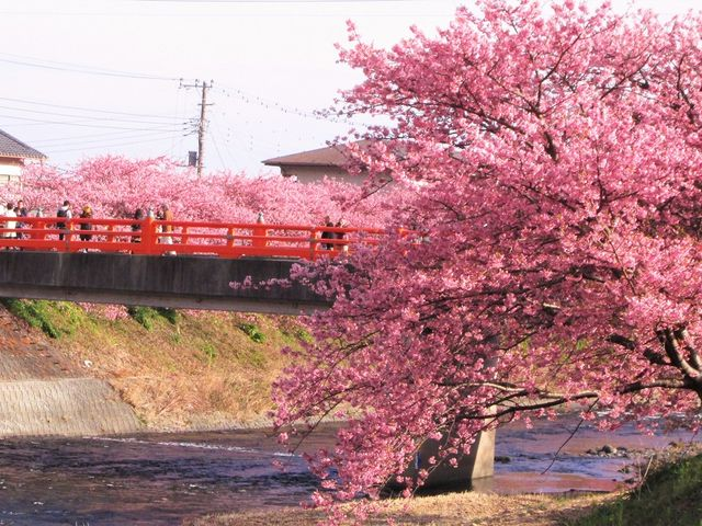 橋と桜_河津桜