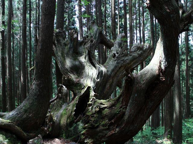 株杉は思ったより迫力あります_21世紀の森公園