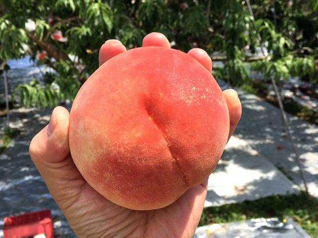 手のひらに収まらないサイズの桃、これで甘くて美味しいなんてたまりません!_中込農園